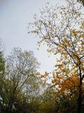 Koronkowi jesienni treetops akacja obraz stock