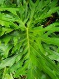 Koronkowy drzewny filodendron lub selloum jako tło Obraz Royalty Free