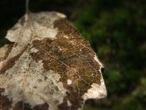 Koronkowy liść Zdjęcia Stock
