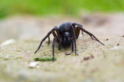 Koronkowy tkacza pająka czołganie Obrazy Stock