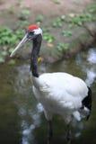 koronowana żuraw czerwień Zdjęcie Royalty Free