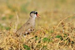 Koronowana siewka Opowiadać rozmowę - Afrykański Dziki Ptasi tło - Zdjęcia Stock