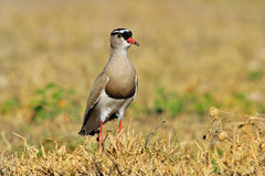 Koronowana siewka postura duma - Afrykański Dziki Ptasi tło - Fotografia Royalty Free