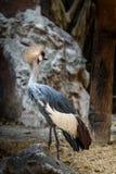 Koronowany żuraw zdjęcia royalty free