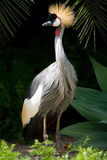 Koronowany żuraw zdjęcie stock