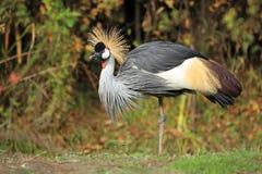 Koronowany żuraw zdjęcie royalty free