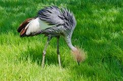 Koronowany żuraw fotografia royalty free