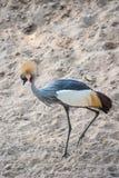Koronowany żuraw (afrykanina Koronowany żuraw) Zdjęcie Stock
