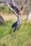 Koronowany żuraw przy samburu parkiem narodowym zdjęcie stock