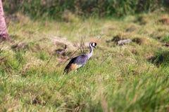 Koronowany żuraw przy samburu parkiem narodowym zdjęcia stock
