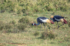 Koronowany żurawia lub Balearica pavonina zdjęcia royalty free