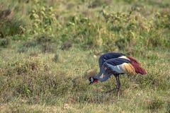 Koronowany żurawia lub Balearica pavonina zdjęcie stock
