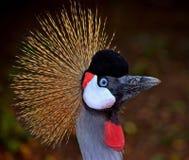 koronowany żurawia portret zdjęcie stock