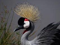 Koronowany dźwigowy ptak fotografia royalty free