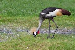 Koronowany Dźwigowy ptak lub afrykanin Koronowaliśmy Dźwigowego ptaka na trawie fi Obraz Royalty Free