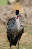 Koronowany Dźwigowy ptak w rozpieczętowanym zoo. obraz royalty free