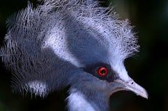 koronowany gołębi południowy fotografia stock