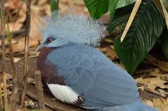 koronowany gołębi południowy zdjęcie stock