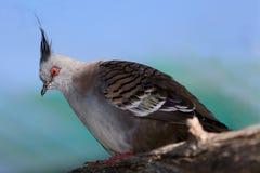 Koronowany Gołębi ptak obrazy royalty free