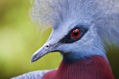 koronowany gołębi Victoria Obraz Stock