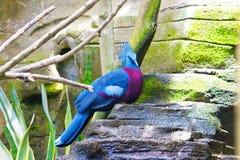 koronowany gołębi Victoria Zdjęcie Stock