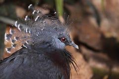 koronowany gołębi Victoria Zdjęcia Royalty Free