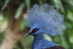 koronowany gołębi Victoria Fotografia Royalty Free