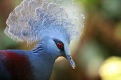 koronowany gołębi Victoria Obraz Royalty Free