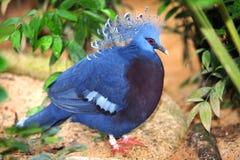 koronowany gołębi Victoria Zdjęcie Royalty Free
