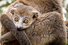 Koronowany lemur Fotografia Stock