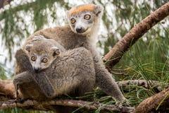 Koronowany lemur Obraz Stock