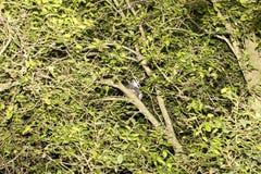 Koronowany lemur, Eulemur coronatus, jest prawie niewidzialny w drzewach, Złocista góra, Madagascar Zdjęcia Stock