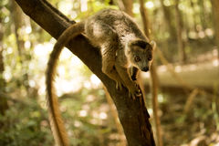 Koronowany lemur, Eulemur coronatus na gałąź w Ankaran rezerwie, Madagascar Zdjęcia Stock