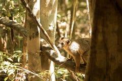 Koronowany lemur, Eulemur coronatus, odpoczywa na winogradu Ankarana rezerwie, Madagascar Zdjęcie Royalty Free