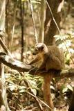 Koronowany lemur, Eulemur coronatus, odpoczywa na winogradu Ankarana rezerwie, Madagascar Zdjęcia Royalty Free