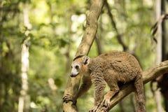 Koronowany lemur, Eulemur coronatus, odpoczywa na winogradu Ankarana rezerwie, Madagascar Zdjęcia Stock