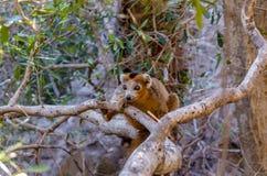 Koronowany lemur w Ankarana parku Madagascar Obrazy Royalty Free