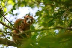 Koronowany lemura Ankarana park narodowy, Madagascar obrazy royalty free