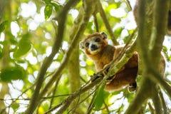 Koronowany lemura Ankarana park narodowy, Madagascar obraz royalty free