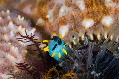 Koronowany nudibranch Polycera capensis podwodny zdjęcia royalty free