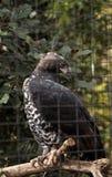 Koronowany orła Stephanoaetus coronatus obraz royalty free