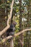Koronowany orła Stephanoaetus coronatus zdjęcia stock