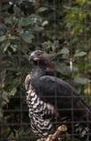 Koronowany orła Stephanoaetus coronatus obrazy stock