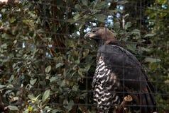 Koronowany orła Stephanoaetus coronatus obraz stock