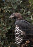 Koronowany orła Stephanoaetus coronatus fotografia stock