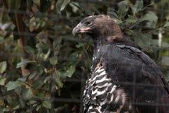 Koronowany orła Stephanoaetus coronatus obrazy royalty free