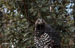 Koronowany orła Stephanoaetus coronatus zdjęcia royalty free