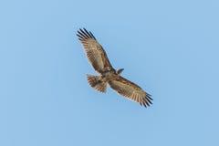 Koronowany orzeł latający koszt stały z skrzydłami rozprzestrzeniającymi zdjęcia royalty free