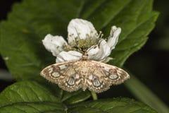 Koronowany phlyctaenia ćma Anania coronata zdjęcia royalty free