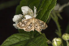 Koronowany phlyctaenia ćma Anania coronata Obraz Stock